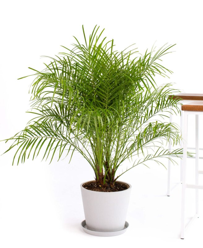 Date Palm | Indoor - Pic Credit: bloomscape.com. Pet Friendly & Air Purifying