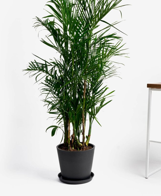 Bamboo Palm | Indoor - Pic Credit: bloomscape.com. Pet Friendly & Air Purifying