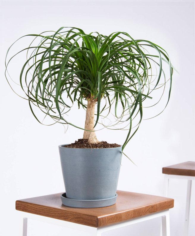 Ponytail Palm | Indoor - Pic Credit: bloomscape.com. Pet Friendly & Air Purifying