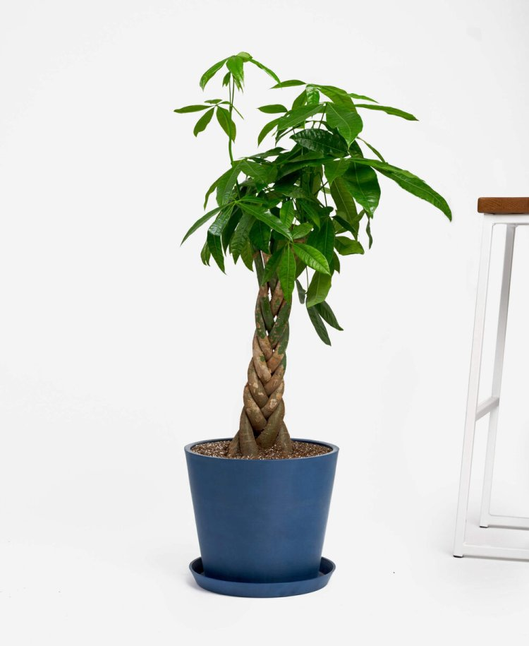 Money Tree | Indoor - Pic Credit: bloomscape.com. Pet Friendly & Air Purifying