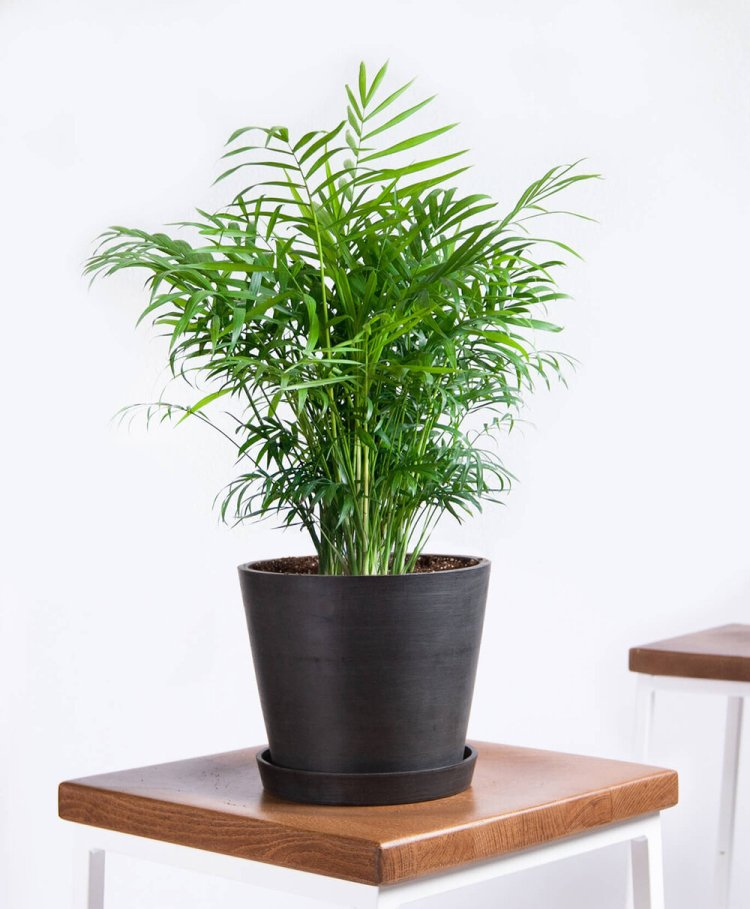 Parlor Palm | Indoor - Pic Credit: bloomscape.com. Pet Friendly & Air Purifying
