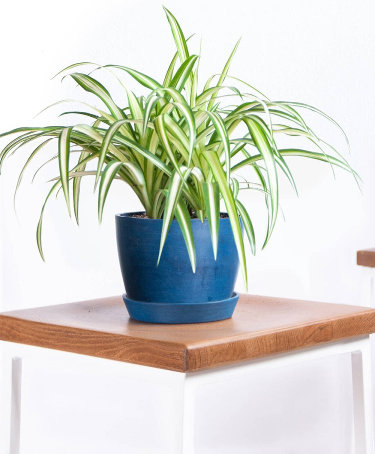 Spider Plant | Indoor - Pic Credit: bloomscape.com. Pet Friendly & Air Purifying