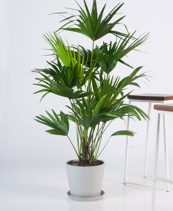 Chinese Fan Palm | Indoor - Pic Credit: bloomscape.com. Pet Friendly & Air Purifying